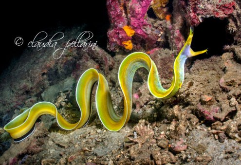 Ribbon eel. A photograph by Claudia Pelarini, the manager of our Azura Lodge.