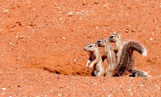Ground squirrels in front of the lodge.