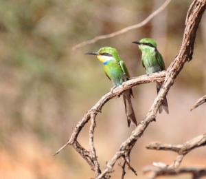 Swallowtail Beeeater, adult and juvenile.