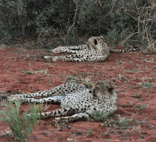 A coalition of leopard brothers.