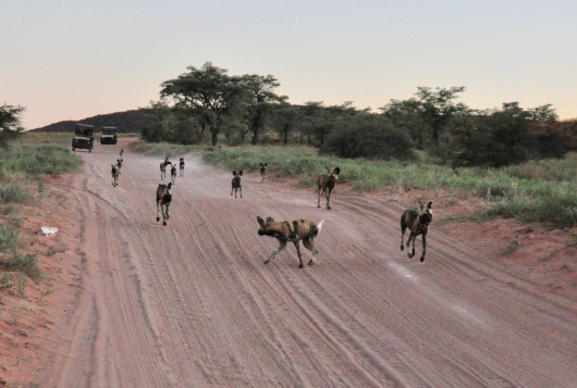Wild Dogs running down the road toward us.