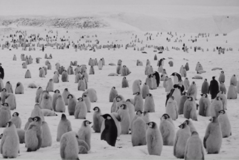 A huge colony of Emperor Penguins as far as the eye can see.