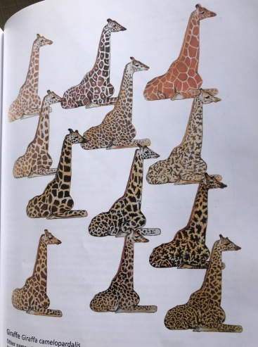 How giraffes differ in patterns and colors. THe lower left is the Southern Giraffe in Tswalu. THe THe lower three on the right ate found in Tanzania.