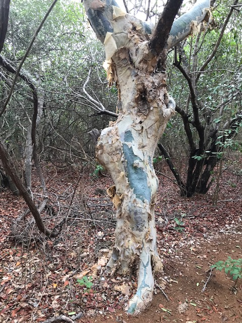 An unusual tree called a Paper Bark Tree, with turquoise skin.