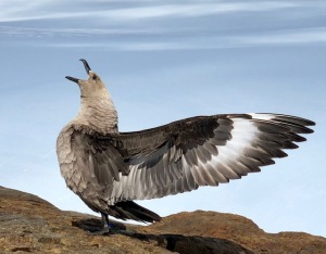 Sub-Arctic Skua-common around camp and the hills nearby.