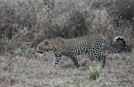 The female leopard on the move