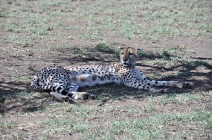We stumble upon a pregnant cheetah under a tree