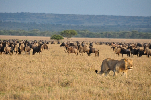 Passing in front of a herd of wary wildebeest