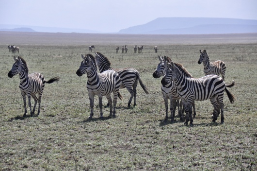 The zebra alerted us to the lions they were all staring