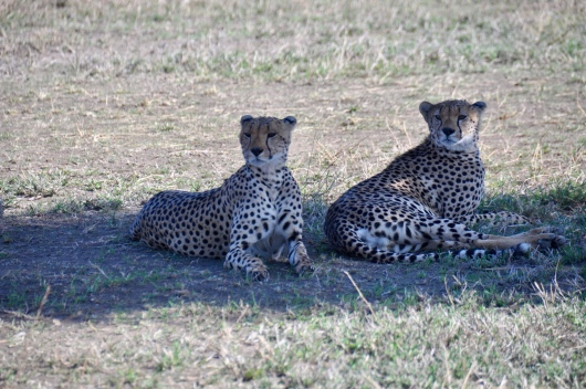 A coalition of two cheetah brothers parked in the shade very close to the 13 lion Pride at the watering hole.