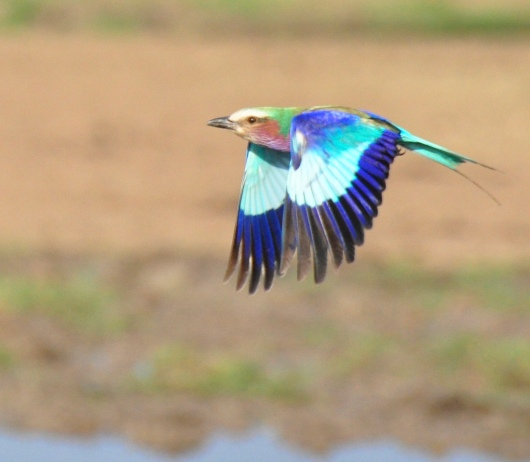 Lilac-breasted Roller on the fly.
