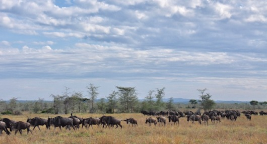Wildebeest on the march. One day they walked south and then it rained and they walked north. They could not seem to make up their minds