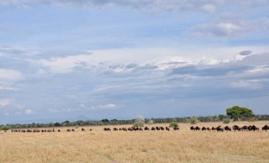 A line of wildebeest as fr as we can see.