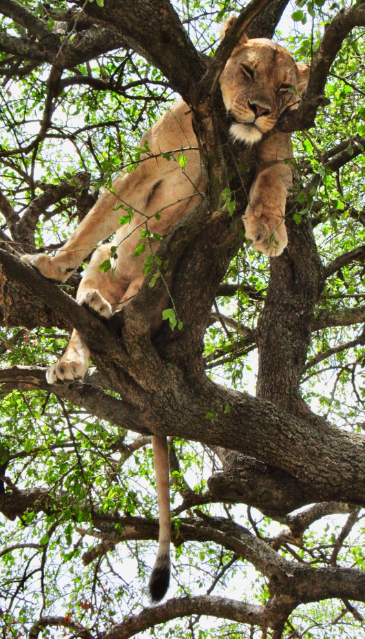 Female lion in lounging in tree