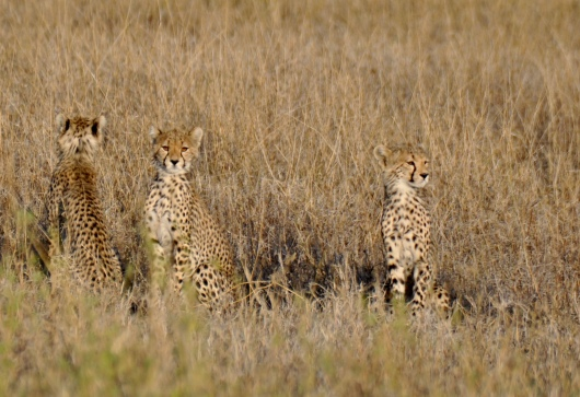 The cubs her mom calling and wait anxiously to see her.