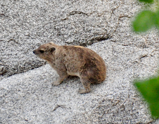 A Rock Hyrax, cousin to the elephant