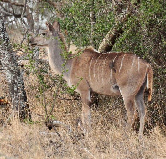 A kudu, large member of the antelope family