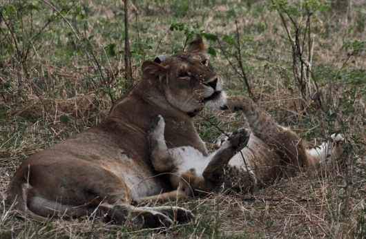 Bahati playing with her cub