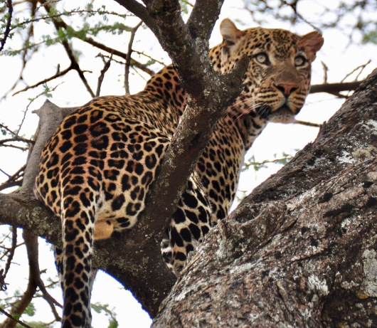 The leopard changed positions and we knew it was a female.