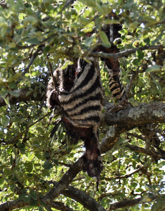 Remains of a zebra, left in a tree by a leopard the night before