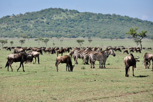 The savannah with wildebeest everywhere