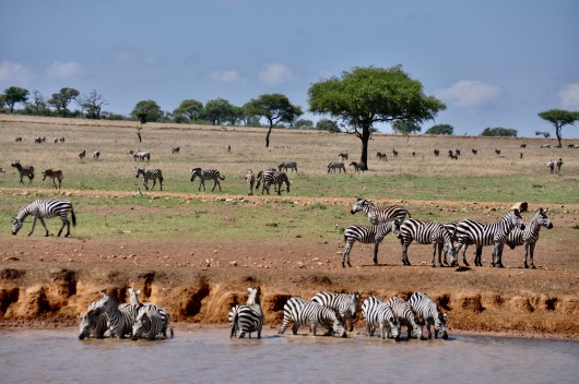 A herd of zebra at Sasakwa Dam, a man made watering hole