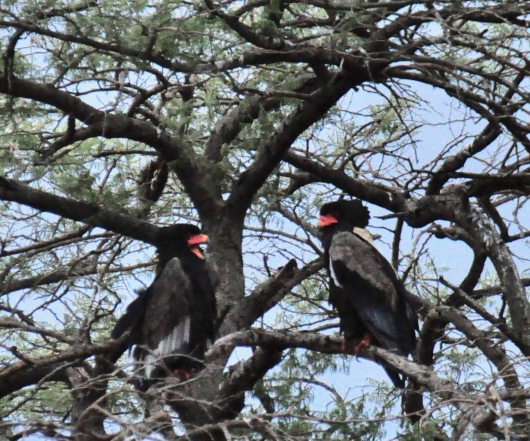 A pair of Bateleur, who mate for life