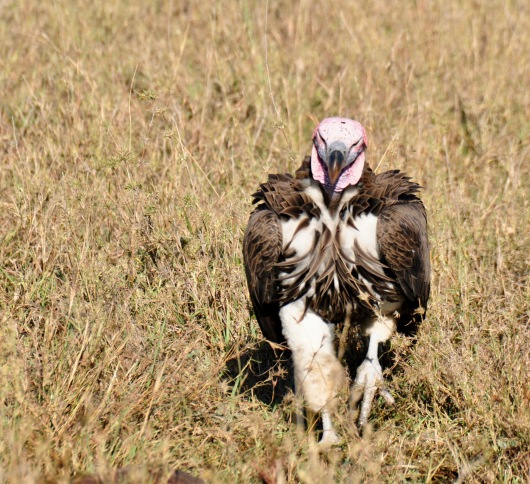 Close up of Lappet Faced Vulture