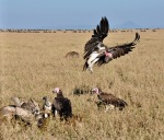 Lappet Faced Vulture joining less dominant vulture species