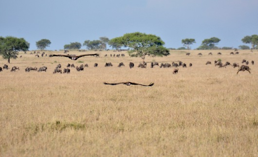 Vultures fly over the savannah to the kill