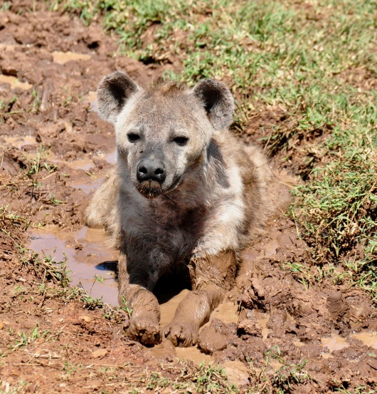 A hyaena puppy wallows in the mud