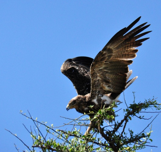 A tawny eagle about to lift off.