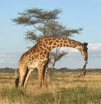 A giraffe appears to be holding a small giraffe in its mouth.