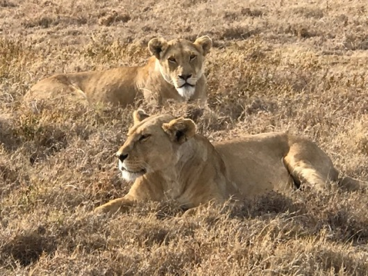 A pair of lions we came across in the grass.