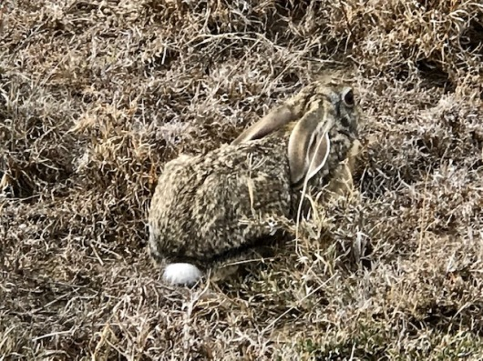 A Scrub Hare. Brad renamed it the head wing bird and does not stop teasing me about it. It is rather funny.
