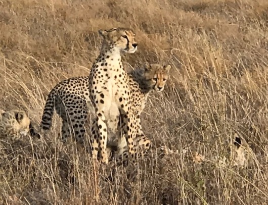 The cheetah mom watching out for her family