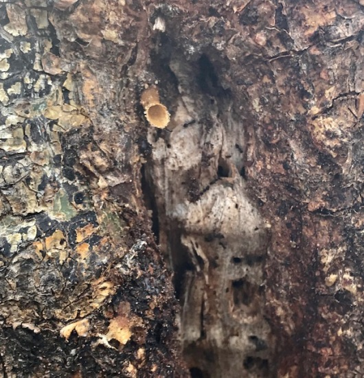 Identifying the beehive inside the Commiphora tree by the protruding tube the bees make